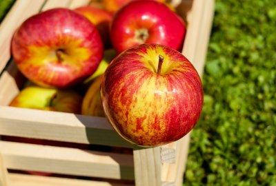 Äpfel am Biohof Raimund in Kirchschlag