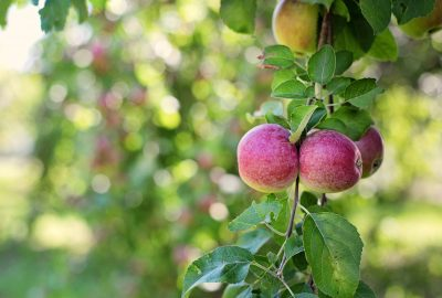 Apfelbaum am Biohof Raimund in Kirchschlag