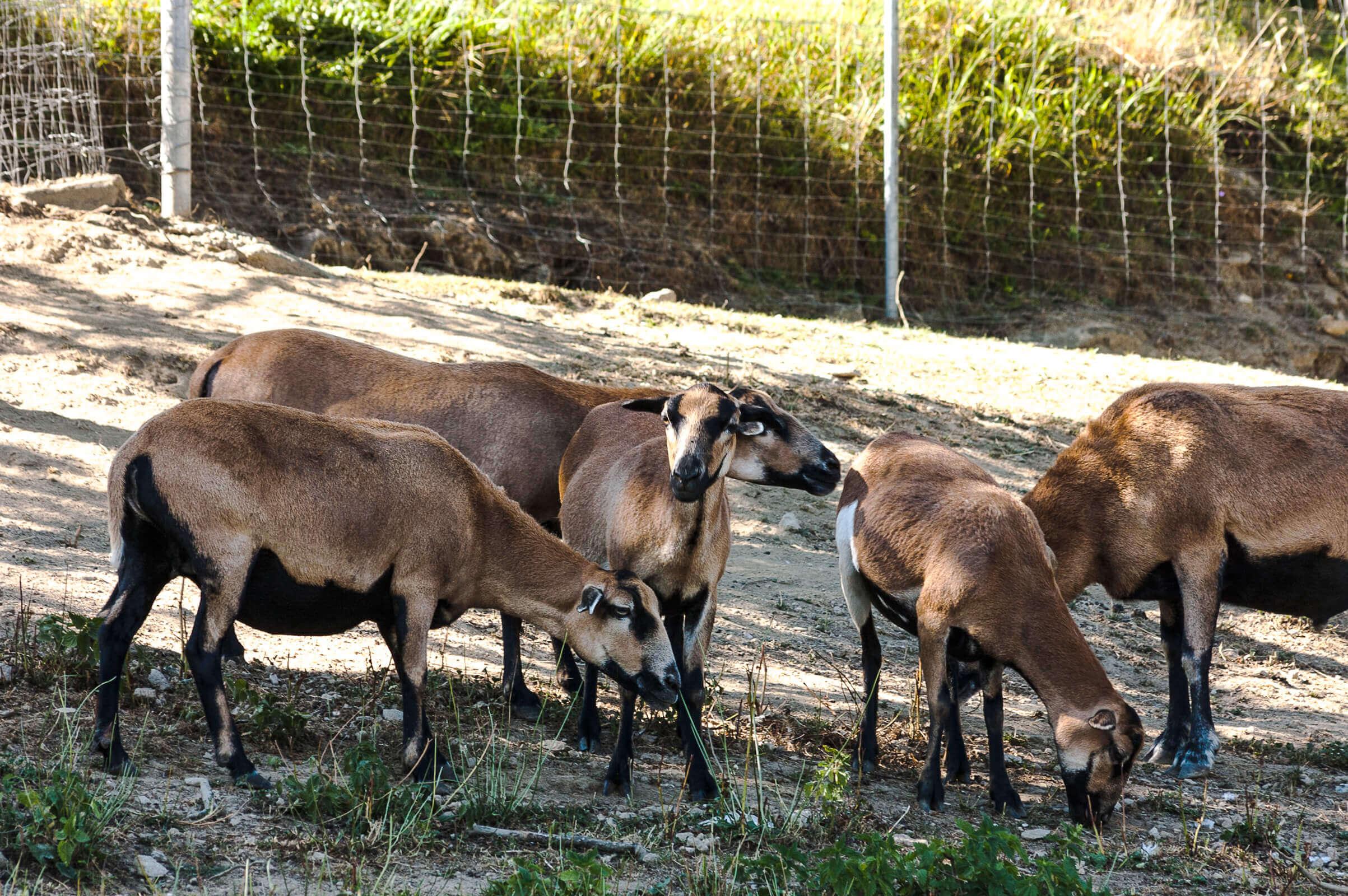 Ziegen im Freigehege am Biohof Raimund in Kirchschlag.